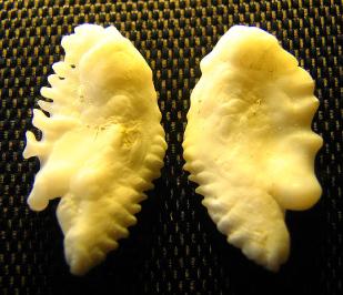 C14 Fish Otoliths